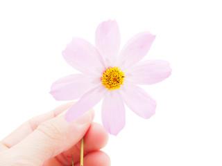 kosmeya flower on a white background
