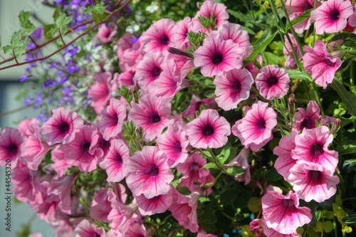 Trailing petunia surfinia Pink Veil in a hanging basket