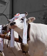 Mucche Folcrore