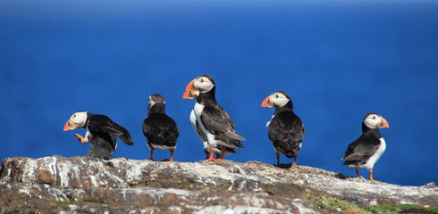 Group of puffins in the Isle of May