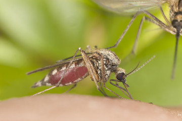 Mosquito sucking blood, another is close to landing