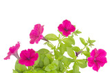 petunia isolated on white background