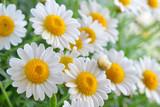 Fototapeta rumianek - wiosna - Kwiat