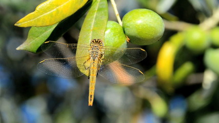 dragonfly on an olive tree