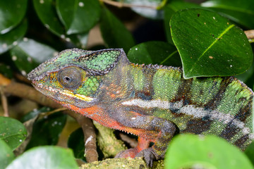 panther chameleon, marozevo