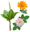 plantain dog-rose marigold medicinal plants isolated