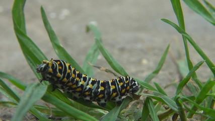 Caterpillar in green grass
