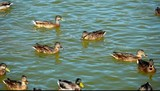 Mallard ducks on the lake