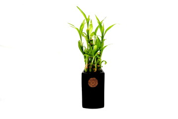 Lucky Bamboo Plant in a Black Vase Isolated Over White