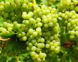 Weisswein Trauben - White Wine Grapes