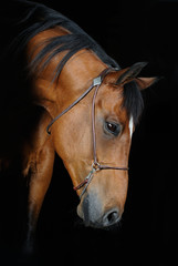 Trakehner stallion in the barn