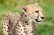 Side Portrait of Cheetah Against Grass