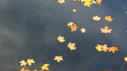 Yellow maple leaves drifting in the river during autumn