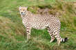 Cheetah Standing Against Grassy Bank