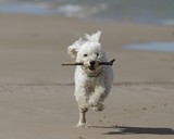 Small White Cockapoo Fetching a Stick on a Lake Huron Beach - Grand Bend, Ontario, Canada poster
