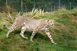 Cheetah Pacing through Grass in Enclosure poster