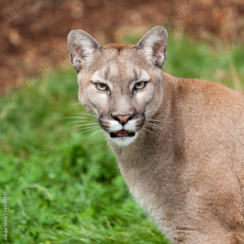 Aluminium Puma Head Shot Portrait of Beautiful Puma