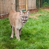 Prowling Puma Licking Lips in Enclosure poster