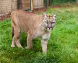 Puma Stalking Through Enclosure poster