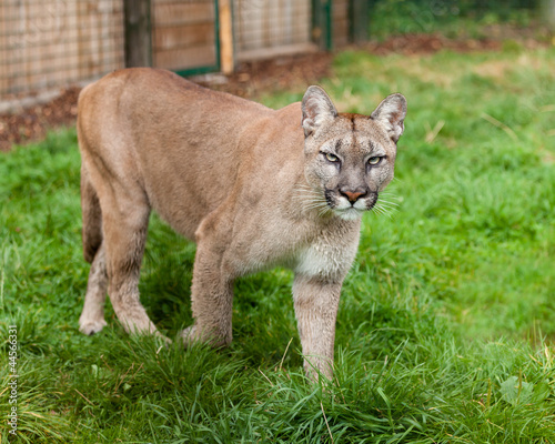 Puma Stalking Through Enclosure