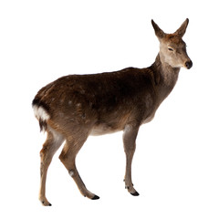 Female of  Deer. Isolated over white