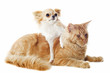 chat maine coon et chihuahua