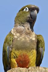 Portrait Burrowing Parrots (Cyanoliseus patagonus)