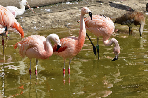 Foto op Plexiglas Flamingo Group of flamingos (Phoenicopterus) in water