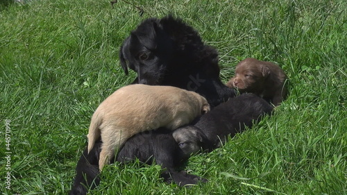 Mother dog and her puppies on grass