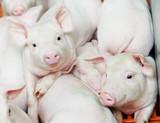 young piglet at pig farm