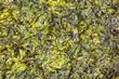 Seaweed fried in Olive Oil