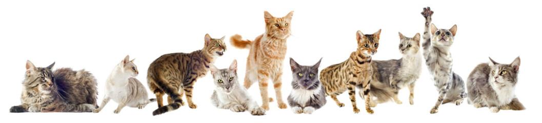 groupe de chats de race