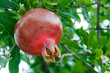 Bright juicy pomegranate