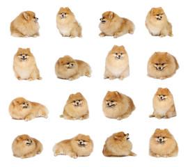 Pomeranian spitz in studio