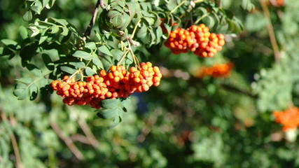Mountain ash berries by the end of summer ( Sórbus ) ashberry .