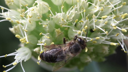 bee pollinating onion