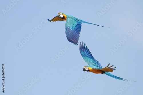 Foto op Aluminium Papegaai Macaws in Flight