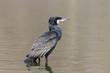 canvas print picture - Kormoran (Phalacrocorax carbo)