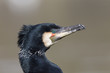 canvas print picture - Kormoran (Phalacrocorax carbo)