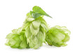 Hops isolated on a white background