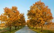 autumnal view of alley of cherry trees (prunus avium)