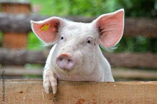 Schwein - 44615992