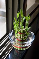 Bamboo-good luck plant three