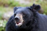 Himalayan Black Bear, Himalayan Zoological Park, Darjeeling, poster