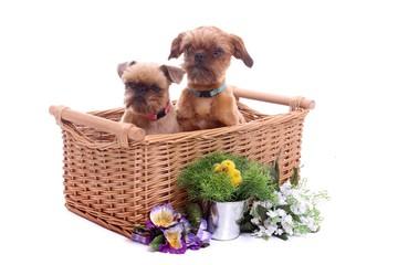 zwei junge Hunde im Weidenkorb