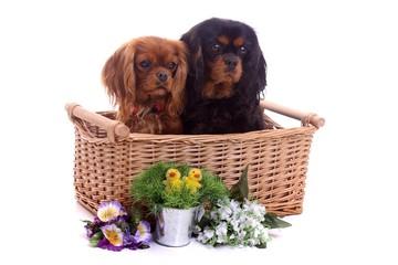 zwei Hunde im Weidenkorb