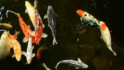 Koi, Fanct carp are swimming