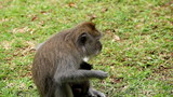 A beautiful balinese macaque monkey