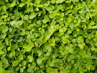 Pattern of Wood sorrel or Oxalis acetosella L. field