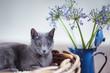 Russisch Blau Katze in Weidenkorb